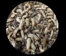 Ấu trùng ruồi lính đen - Sâu canxi còn sống