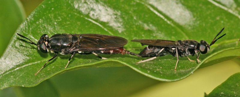 Lợi ích và tác dụng của ruồi lính đen