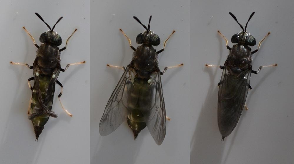 Quy trình nuôi ruồi lính đen