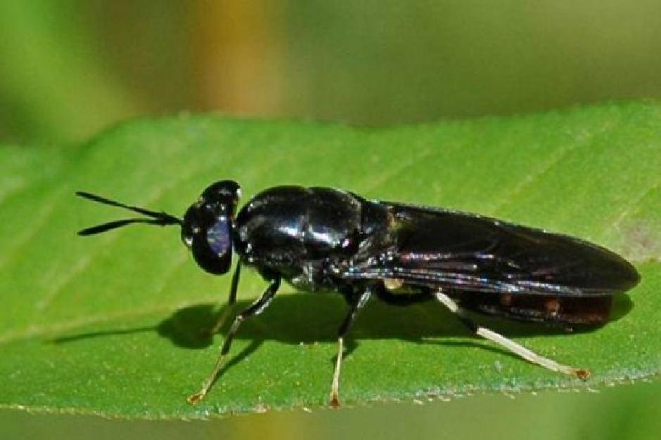 Mô hình nuôi ruồi lính đen hiệu quả