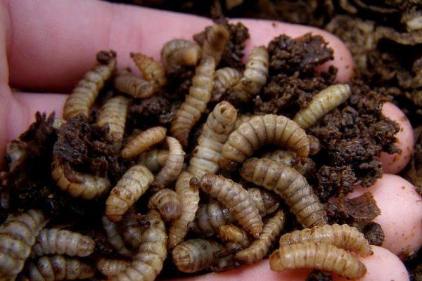 Chăn nuôi độc lạ bằng ruồi lính đen