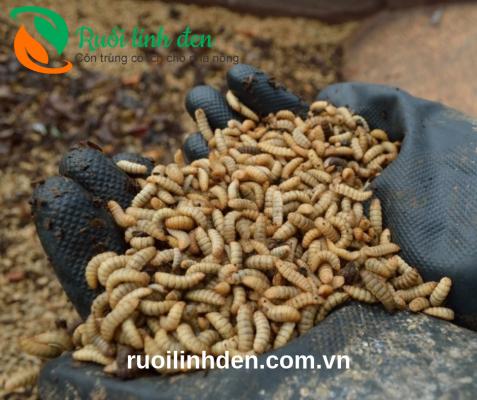 ấu trùng ruồi lính đen ăn gì
